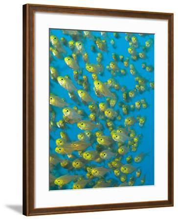 A School of Golden Sweeper Fish, Parapriacanthus Ransonneti-Paul Sutherland-Framed Photographic Print