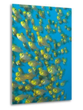 A School of Golden Sweeper Fish, Parapriacanthus Ransonneti-Paul Sutherland-Metal Print