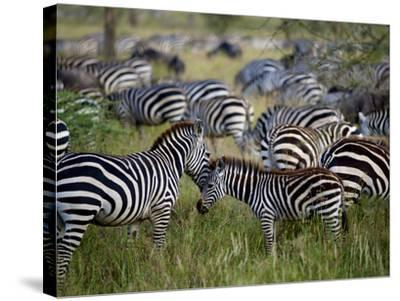 A Young Zebra Receives an Affectionate Nuzzle-Jim Richardson-Stretched Canvas Print
