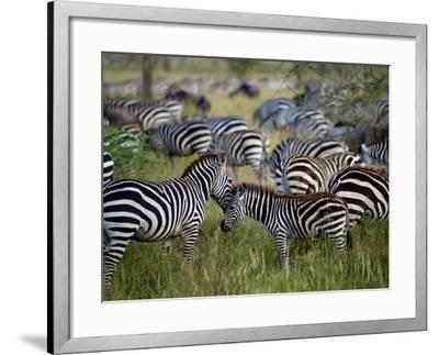 A Young Zebra Receives an Affectionate Nuzzle-Jim Richardson-Framed Photographic Print