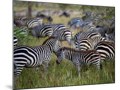 A Young Zebra Receives an Affectionate Nuzzle-Jim Richardson-Mounted Photographic Print