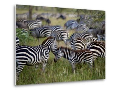 A Young Zebra Receives an Affectionate Nuzzle-Jim Richardson-Metal Print