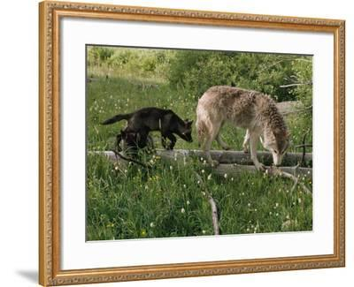 A Black Gray Wolf Pup Follows a Mid-Ranking Female Adult-Jim And Jamie Dutcher-Framed Photographic Print