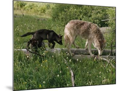 A Black Gray Wolf Pup Follows a Mid-Ranking Female Adult-Jim And Jamie Dutcher-Mounted Photographic Print