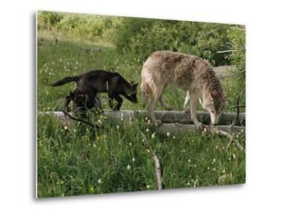 A Black Gray Wolf Pup Follows a Mid-Ranking Female Adult-Jim And Jamie Dutcher-Metal Print