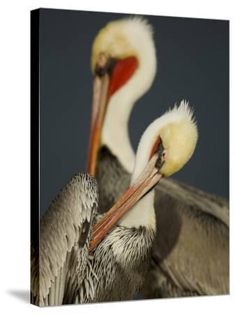 A Brown Pelican, Pelecanus Occidentalis, Preening-Tim Laman-Stretched Canvas Print