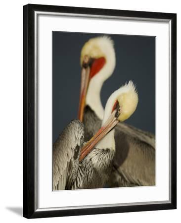 A Brown Pelican, Pelecanus Occidentalis, Preening-Tim Laman-Framed Photographic Print