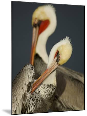 A Brown Pelican, Pelecanus Occidentalis, Preening-Tim Laman-Mounted Photographic Print