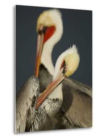 A Brown Pelican, Pelecanus Occidentalis, Preening-Tim Laman-Metal Print