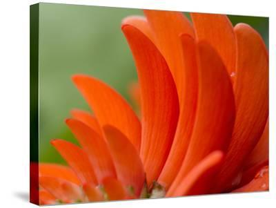 A Coral Tree Flower, Erythrina Species-Michael Melford-Stretched Canvas Print