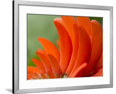 A Coral Tree Flower, Erythrina Species-Michael Melford-Framed Photographic Print