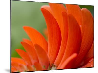 A Coral Tree Flower, Erythrina Species-Michael Melford-Mounted Photographic Print