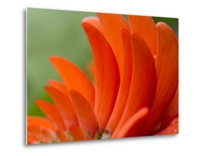 A Coral Tree Flower, Erythrina Species-Michael Melford-Metal Print