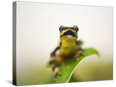 A Limon Harlequin Frog, One of the Rarest Amphibians in the World-Joel Sartore-Stretched Canvas Print
