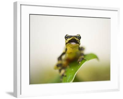 A Limon Harlequin Frog, One of the Rarest Amphibians in the World-Joel Sartore-Framed Photographic Print