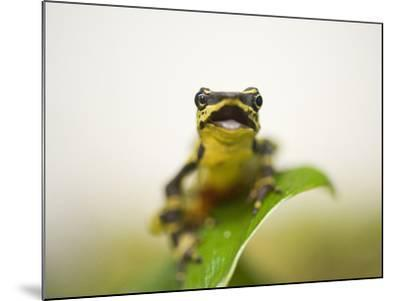 A Limon Harlequin Frog, One of the Rarest Amphibians in the World-Joel Sartore-Mounted Photographic Print