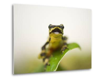 A Limon Harlequin Frog, One of the Rarest Amphibians in the World-Joel Sartore-Metal Print