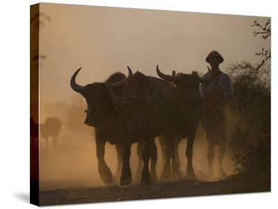 A Farmer Brings His Water Buffaloes Back from Working in the Fields-Alex Treadway-Stretched Canvas Print