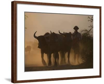 A Farmer Brings His Water Buffaloes Back from Working in the Fields-Alex Treadway-Framed Photographic Print