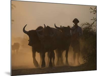 A Farmer Brings His Water Buffaloes Back from Working in the Fields-Alex Treadway-Mounted Photographic Print