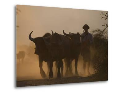 A Farmer Brings His Water Buffaloes Back from Working in the Fields-Alex Treadway-Metal Print