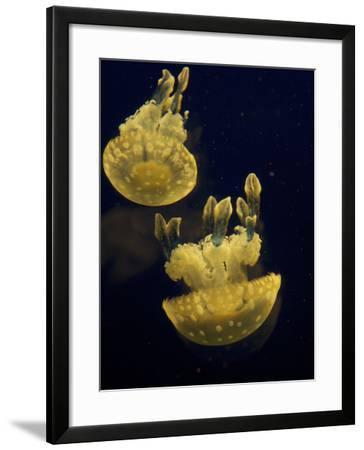 Portait of Spotted Jellies, Mastigias Papua, in an Aquarium-Tim Laman-Framed Photographic Print