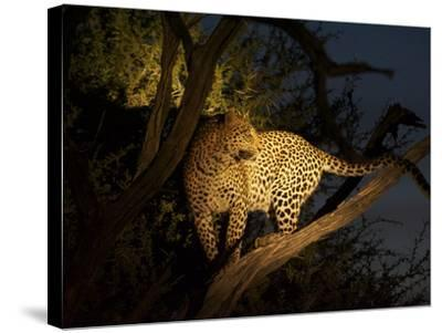 A Female Leopard, Panthera Pardus, Treed by Wild Dogs at Dusk-Bob Smith-Stretched Canvas Print
