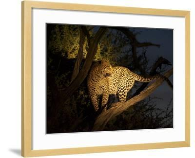A Female Leopard, Panthera Pardus, Treed by Wild Dogs at Dusk-Bob Smith-Framed Photographic Print