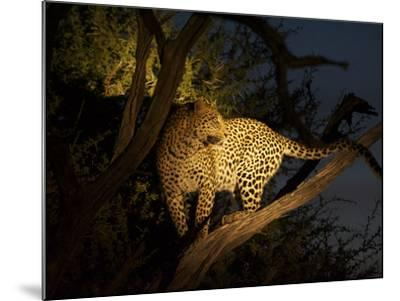 A Female Leopard, Panthera Pardus, Treed by Wild Dogs at Dusk-Bob Smith-Mounted Photographic Print