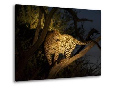 A Female Leopard, Panthera Pardus, Treed by Wild Dogs at Dusk-Bob Smith-Metal Print