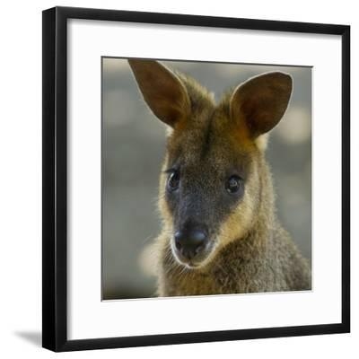 Portrait of a Wallaby-Michael Melford-Framed Photographic Print