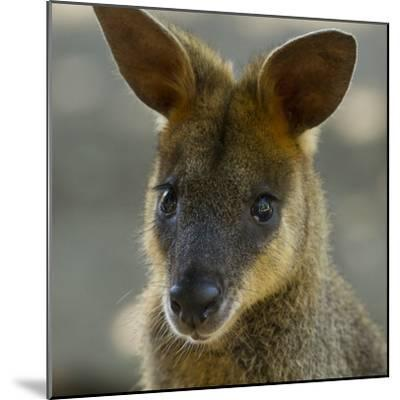 Portrait of a Wallaby-Michael Melford-Mounted Photographic Print