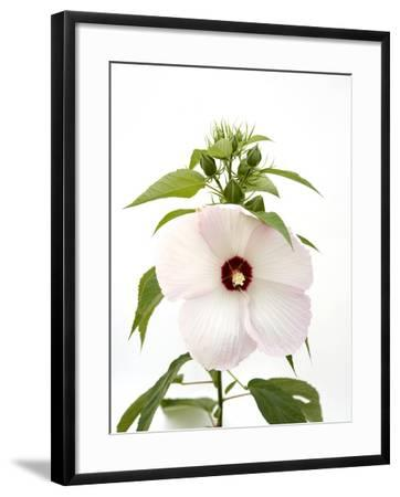 A Pink Tinged Hibiscus Flower, Malvoideae Hibisceae-Joel Sartore-Framed Photographic Print