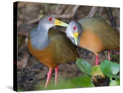 A Pair of Gray-Necked Woodrails, Aramides Cajanea, Grooming-Roy Toft-Stretched Canvas Print