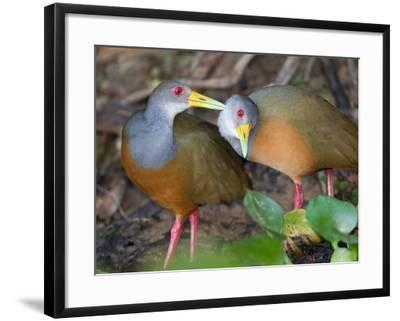 A Pair of Gray-Necked Woodrails, Aramides Cajanea, Grooming-Roy Toft-Framed Photographic Print