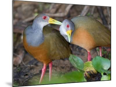 A Pair of Gray-Necked Woodrails, Aramides Cajanea, Grooming-Roy Toft-Mounted Photographic Print