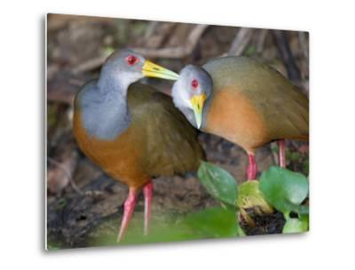 A Pair of Gray-Necked Woodrails, Aramides Cajanea, Grooming-Roy Toft-Metal Print