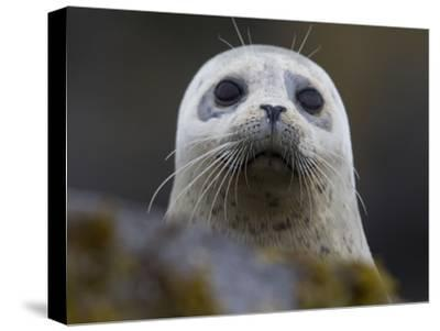 Portrait of a Harbor Seal, Phoca Vitulina-Roy Toft-Stretched Canvas Print