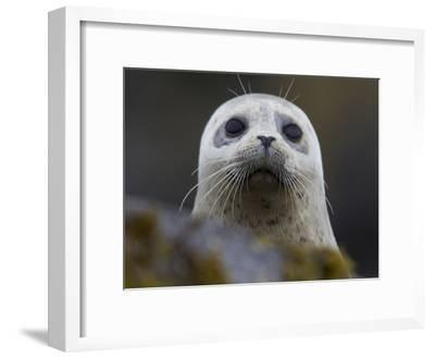Portrait of a Harbor Seal, Phoca Vitulina-Roy Toft-Framed Photographic Print
