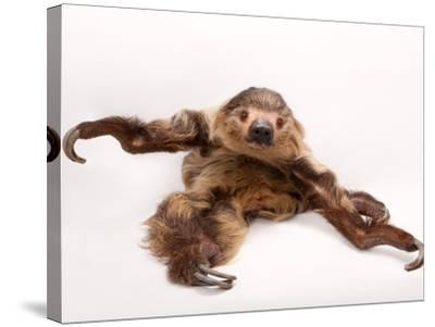 A two-toed sloth, Choloepus hoffmanni, at the Lincoln Children's Zoo.-Joel Sartore-Stretched Canvas Print