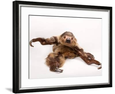 A two-toed sloth, Choloepus hoffmanni, at the Lincoln Children's Zoo.-Joel Sartore-Framed Photographic Print