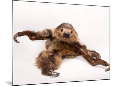 A two-toed sloth, Choloepus hoffmanni, at the Lincoln Children's Zoo.-Joel Sartore-Mounted Photographic Print