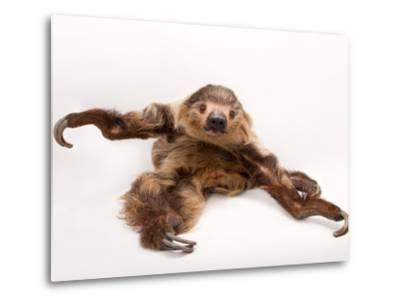 A two-toed sloth, Choloepus hoffmanni, at the Lincoln Children's Zoo.-Joel Sartore-Metal Print