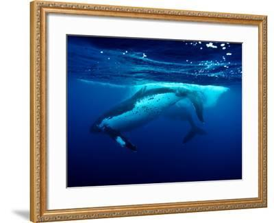 Male Humpback Whales Slap their Tail Flukes as a Sign of Strength-Jason Edwards-Framed Photographic Print