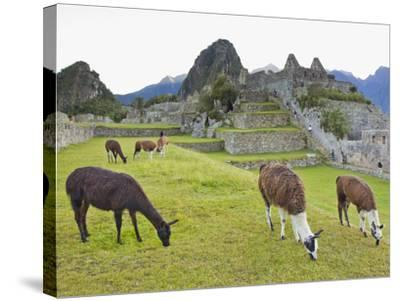 Llamas Eating on the Grounds of the Inca Ruins of Machu Picchu-Mike Theiss-Stretched Canvas Print
