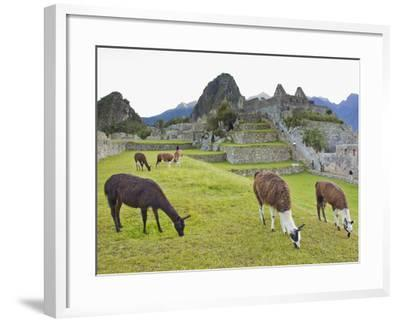 Llamas Eating on the Grounds of the Inca Ruins of Machu Picchu-Mike Theiss-Framed Photographic Print