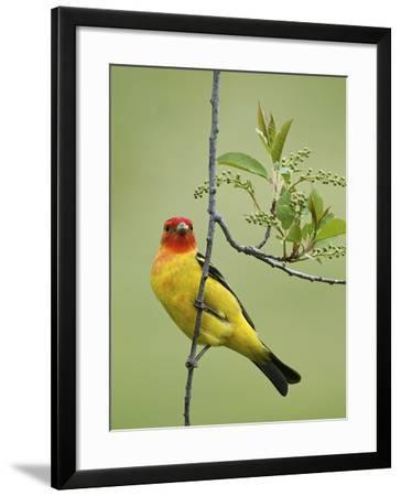A Western Tanager, Piranga Ludoviciana, Perched on a Twig-Bob Smith-Framed Photographic Print