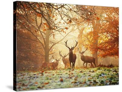 Four Red Deer in the Autumn Forest-Alex Saberi-Stretched Canvas Print