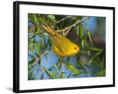 A Male Yellow Warbler,Dendroica Petechia Perched on a Tree Branch-George Grall-Framed Photographic Print