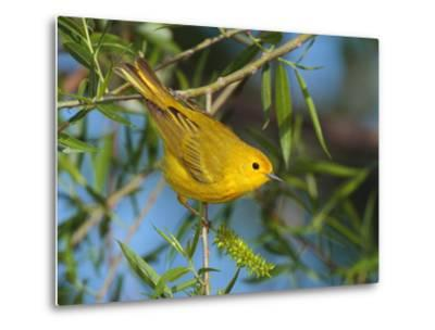 A Male Yellow Warbler,Dendroica Petechia Perched on a Tree Branch-George Grall-Metal Print